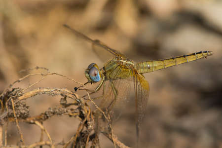 wandering: A Wandering Glider dragonfly resting on exposed roots