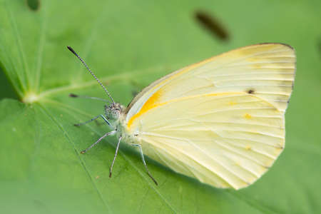 broad leaf: A female Creamy Small White Butterfly resting on a broad leaf
