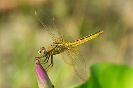 wandering: A Wandering Glider dragonfly alight on the bud of a flower