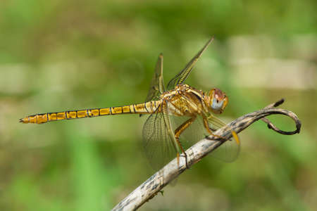 wandering: A Wandering Glider dragonfly alight on a dried-out stem