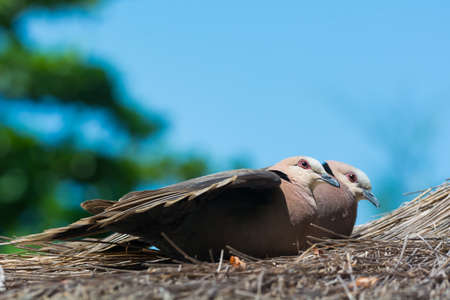 sunning: Two Red-eyed Doves (Streptopelia semitorquata) sunning on a thatched roof Stock Photo