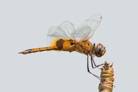 wheeling: A Keyhole Glider (aka Wheeling Glider) Dragonfly (Tramea basilaris) smiling on his perch Stock Photo