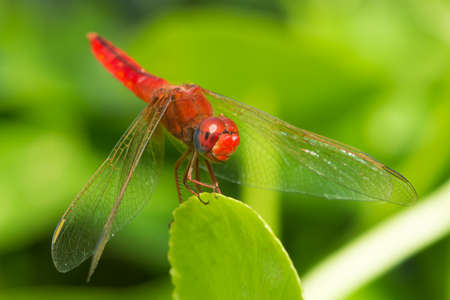 crocothemis: A Scarlet Dragonfly (Crocothemis erythraea)  with an unedited smile