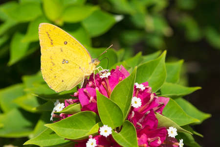 migrant: A female African Migrant butterfly (Catopsilia Florella) drinking nectar from pink flowers Stock Photo