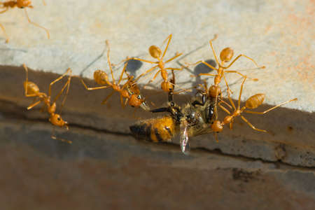 apis: A group of Weaver Ants  Oecophylla longinoda  working together to haul home a honey bee  Apis melifera adansoni  Stock Photo