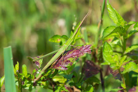 acrididae: A Common Stick Grasshopper  Acrida acuminata  well hidden within its surroundings