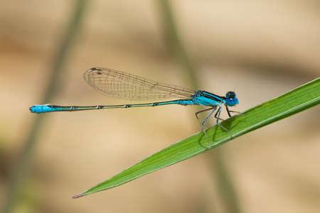 damselfly: A Tiny Swamp Bluet Damselfly  Azuragrion vansomereni  perched on a leaf