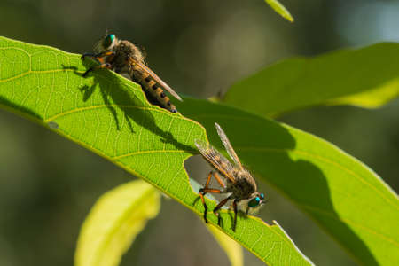 2 Robber Flies Promachus SP recortan a trav�s de una hoja durante el apareamiento photo
