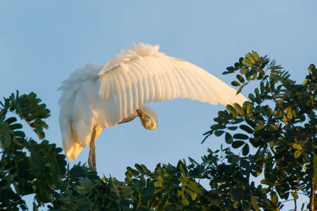 roosting: A Great White Egret (Egretta alba) roosting in a tree, its wing outstretched for preening Stock Photo