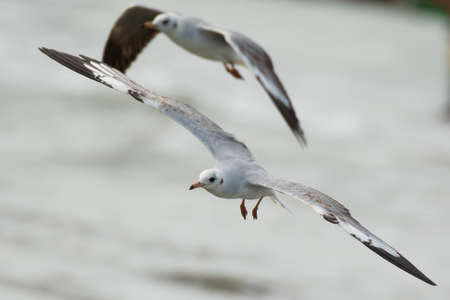larus: A Grey-Headed Gull (Larus cirrocephalus) soaring over the water