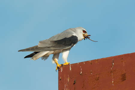 swallowing: A Black-Shouldered Kite (Elanus caeruleus) swallowing the back half of a Gambian pouched rat Stock Photo
