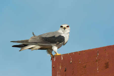shouldered: A Black-Shouldered Kite (Elanus caeruleus) staring from on top of a rust billboard Stock Photo