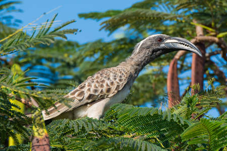 An African Grey Hornbill (Tockus, nasutus) craning his neck in a tree photo
