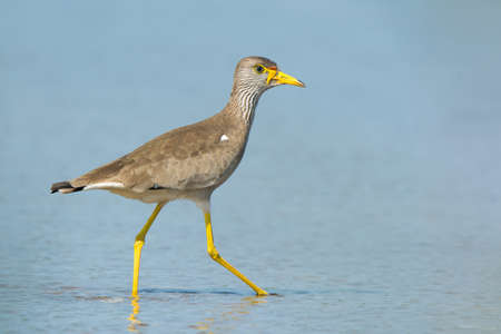 striding: An African Wattled Plover (Vanellus Senegallus) striding in the shallows at the beach Stock Photo