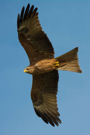 stretched out: A Black Kite (Milvus migrans) with wings stretched out in flight