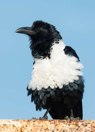 srokaty: A Pied Crow (Corvus Albus) fluffing out his feathers