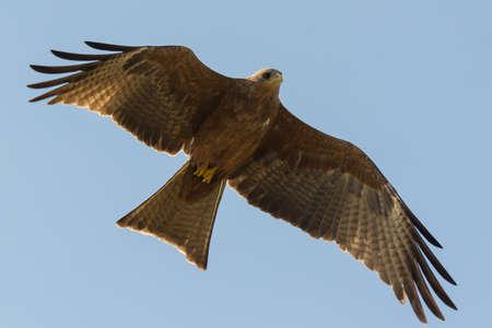 milvus: A Black Kite (Milvus migrans) showing undersides in flight