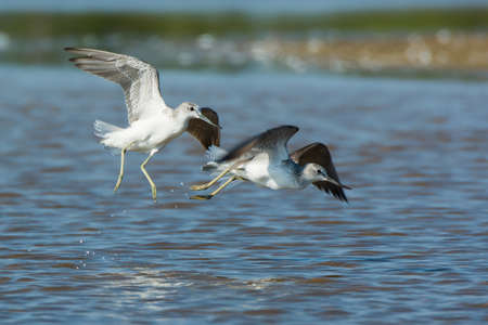 frolicking: Two Common Greenshanks (Tringa nebularia) chasing each other on the beach in shallow water Stock Photo