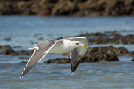 A Lesser Black-Backed Gull (Larus fuscus) flying low over water and rocks photo