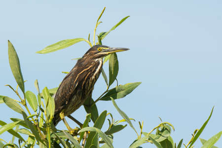 striated: A young Striated Heron Perched on top of a mangrove Stock Photo