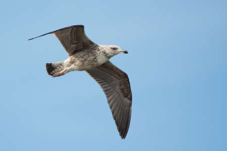 A second year Lesser Black-Backed Gull (Larus fuscus) in flight photo