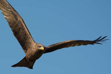 milvus: A Black Kite (Milvus migrans) in flight