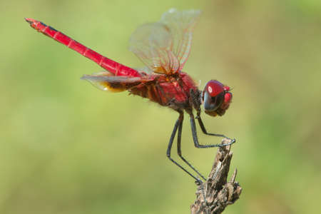 crocothemis: A Scarlet Dragonfly (Crocothemis erythraea) in profile
