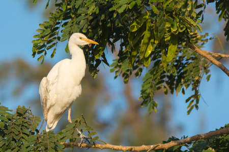 roosting: A Cattle Egret (Bulbucus ibis) roosting in a tree