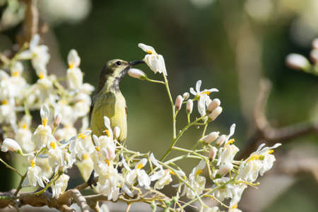 A Female Beautiful Sunbird (Nectarinia pulchella) drinking from blossoms of a moringa tree photo
