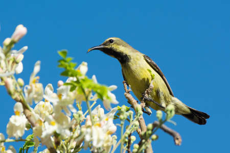 A Female Beautiful Sunbird (Nectarinia pulchella) drinking from blossoms of a moringa tree Stock Photo - 24768688