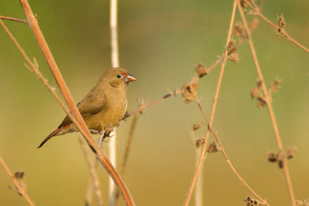 A female Red-billed Firefinch (Lagonosticta senegala) perched amongst dried out stalks photo