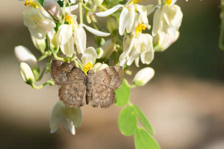A Grey Elfin butterfly (Sarangesa laelius) feeding from moringa blossoms Stock Photo - 24768691