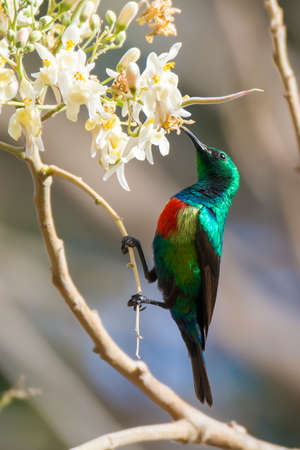 A Male Beautiful Sunbird (Nectarinia pulchella) drinking from blossoms of a moringa tree photo