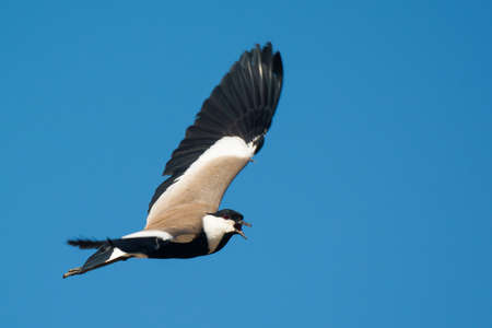 spur winged: A Spur-Winged Plover (Vanellus Spinosus) screeching in flight