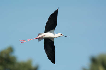 himantopus: A Black-winged Stilt  Himantopus himantopus  with a white face in flight