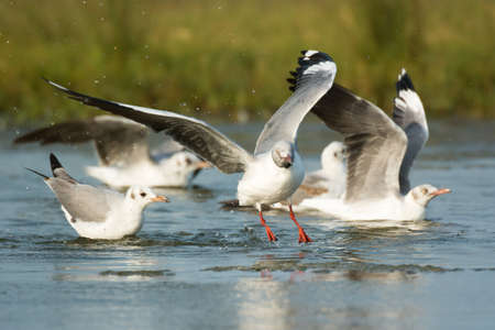 larus: Several Grey-Headed Gulls  Larus cirrocephalus  drinking water from a pond, one taking flight