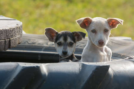 Two curious puppies poking out their heads to see out of the tire in which they live Stock Photo