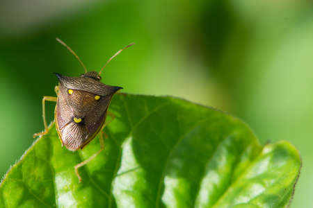 shield bug: A Three Spot Shield Bug  Aspavia armigera
