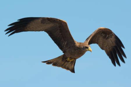milvus: A Black Kite  Milvus migrans  in flight Stock Photo