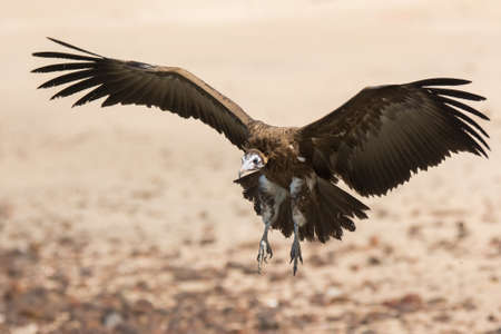 wing span: A Hooded Vulture  Necrosyrtes manachus  coming in for a landing on the beach Stock Photo