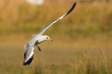 larus: A young Grey-Headed Gull  Larus cirrocephalus  in preparation for landing