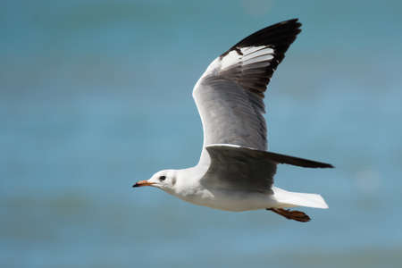 larus: A young Grey-Headed Gull  Larus cirrocephalus  in flight Stock Photo