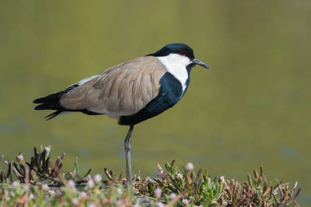 A Spur-Winged Plover  Vanellus Spinosus  standing on the bank