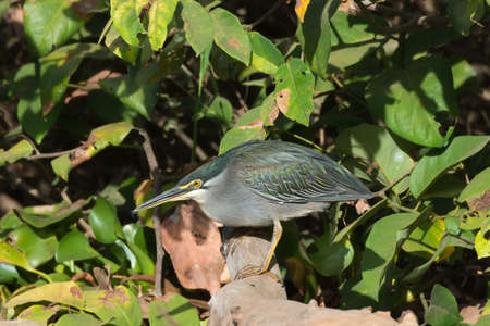 A Striated Heron  Butorides striatus  hunched up on a log holding a small spider in its beak Stock Photo - 25516003