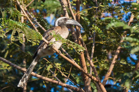 A male African Grey Hornbill  Tockus, nasutus  perched in a tree photo