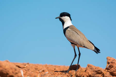 vanellus spinosus: A Spur-Winged Plover  Vanellus Spinosus  standing on red packed mud