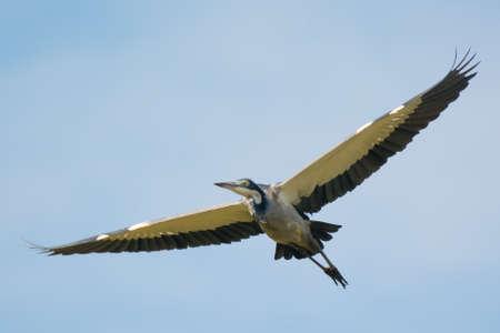 wingspan: Black-Headed Heron (Ardea Melanocephala) in flight Stock Photo