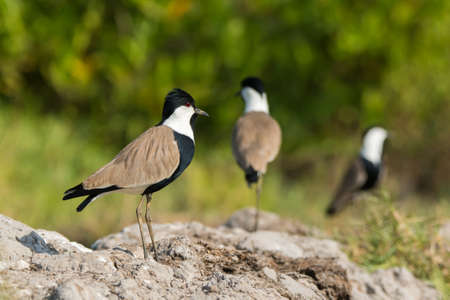 vanellus spinosus: Three Spur-Winged Plover (Vanellus Spinosus) standing on hard-packed mud