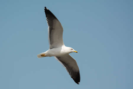 A Lesser Black-Backed Gull (Larus fuscus) in flight photo