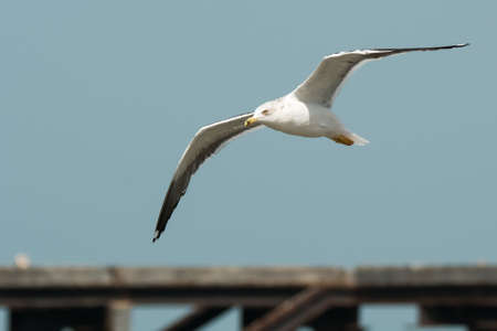 A Lesser Black-Backed Gull (Larus fuscus) in flight over the wharf photo